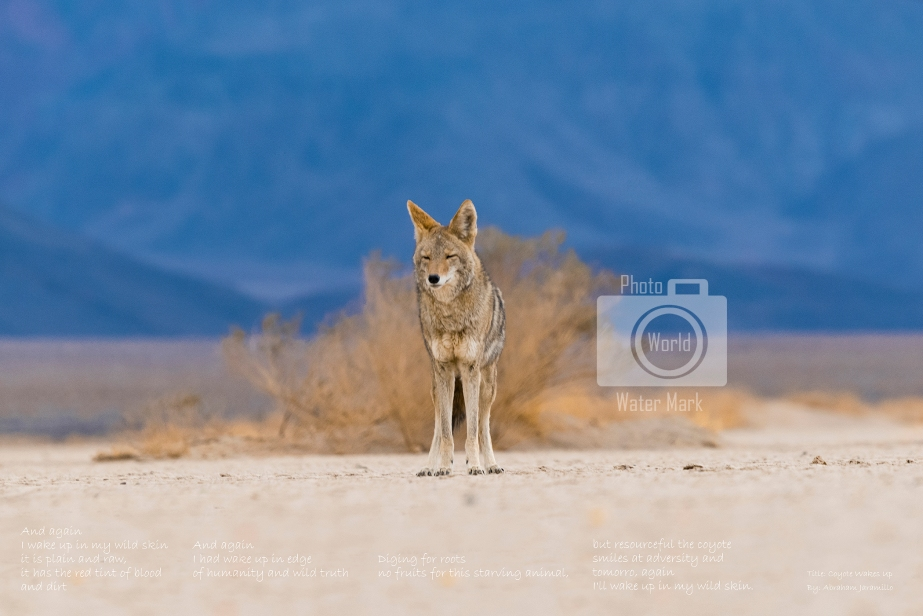 Coyote Wakes Up