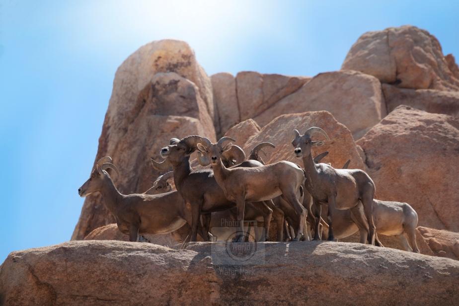 Ewes and Rams